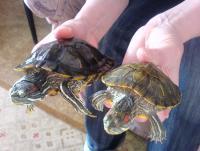 Несколько фактов о черепахах